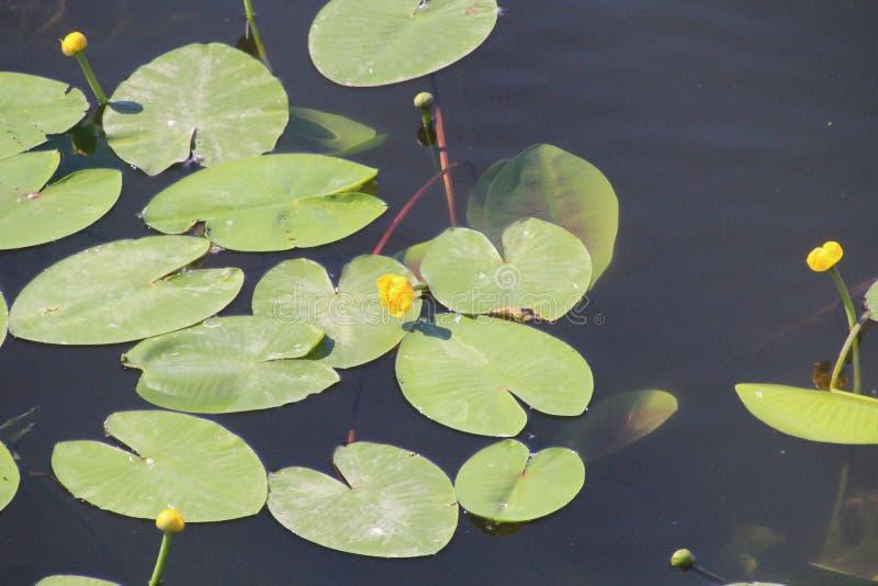 Lotuses op Kokshaga-rivier in Yoshkar-Ola royalty-vrije stock foto's
