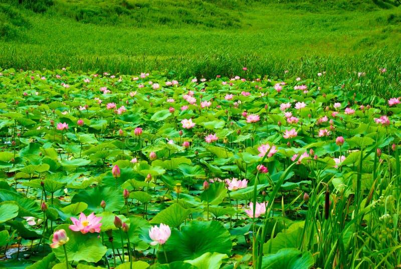 lotuses primorski terytorium fotografia stock