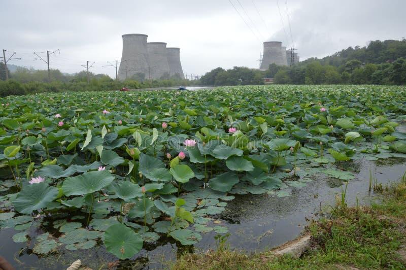 Lotuses in Primorsky Krai stock photo