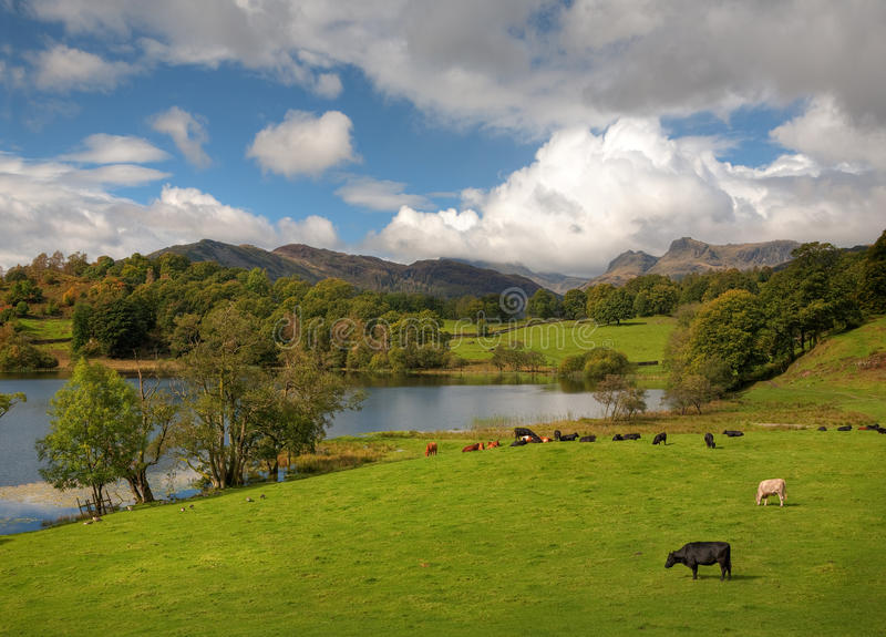 Loughrigg Tarn, Cumbria. Beautiful Loughrigg Tarn with grazing cows and geese by the waters edge, Cumbria, England stock photography