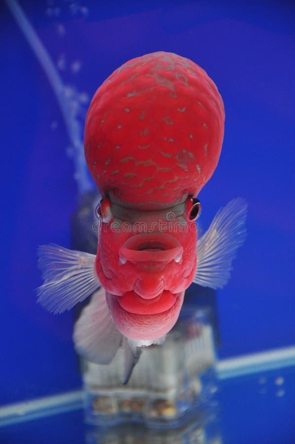 Louhan Flowerhorn cichlids Fish stock image