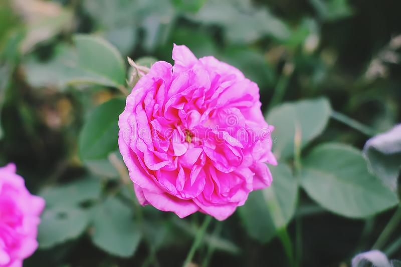Louise Odier or Madame de Stella rose. Beautiful ancient variety of roses. Fragrant beautiful plant. Blooming in summer stock image