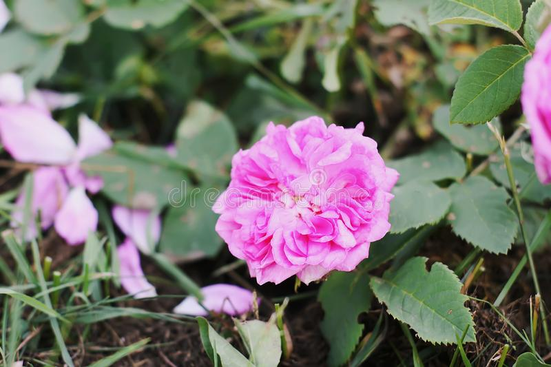 Louise Odier or Madame de Stella rose. Beautiful ancient variety of roses. Fragrant beautiful plant. Blooming in summer stock photo