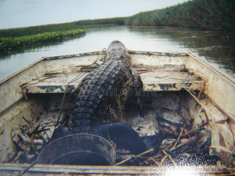 Louisiana alligator royaltyfria foton