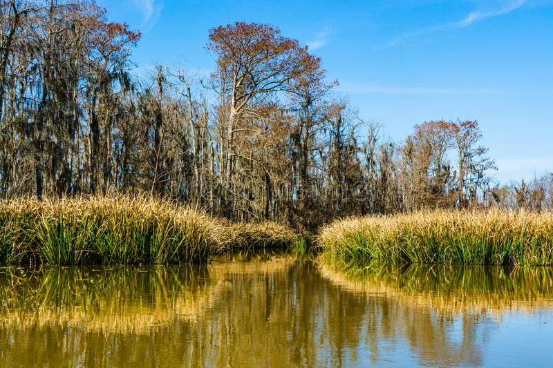Reed plants and cypress trees in the swamp wetlands near New Orleans in the Louisiana Bayou. Louisiana Bayou: Reed plants Phragmites australis and cypress trees royalty free stock photo