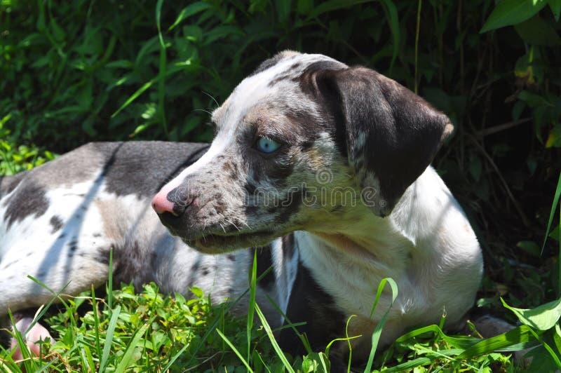 Louisiana Catahoula Puppy On The Grass Stock Image - Image