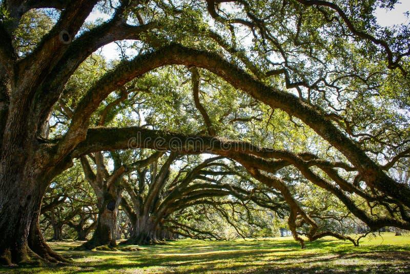 Louisiana koloni med en härlig linje av ekar royaltyfria foton