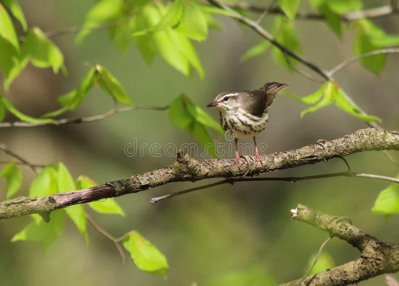 Louisiana Waterthrush. (Parkesia motacilla) perched in a tree royalty free stock photos