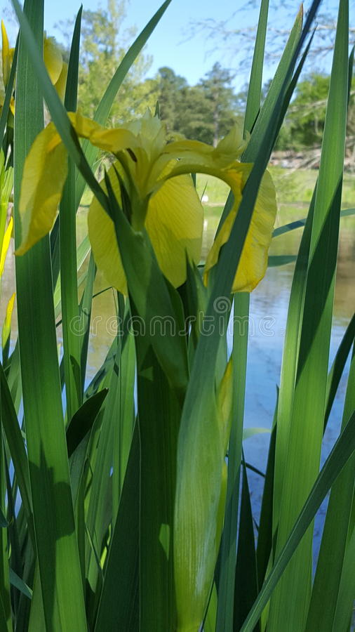 Louisiana wild yellow Iris stock photos
