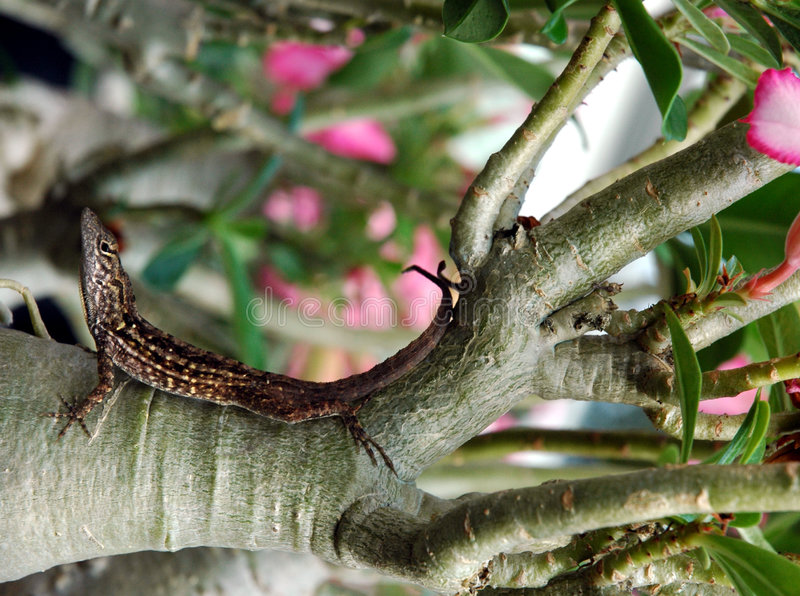 Lizard. Curled on desert rose plant in a garden stock photo