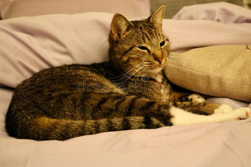 Lounging Cat. Cat lounging indoors on bed royalty free stock photo