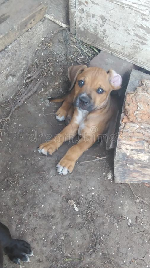Lounging de chiot de pitbull/mastiff photos stock