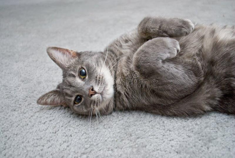 Lounging Grau-Katze lizenzfreie stockfotografie