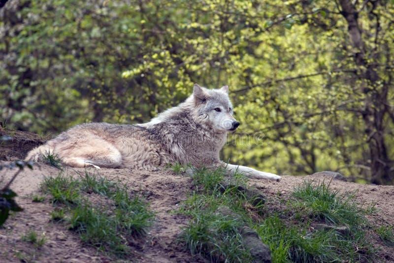 Lounging grauer Wolf stockfotos
