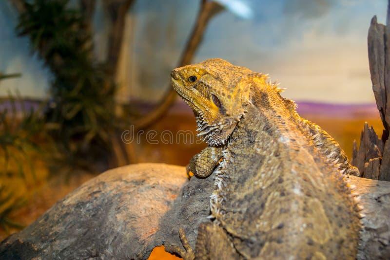 Lounging Lizard. A lizard Lounging around on his warm rock royalty free stock photos