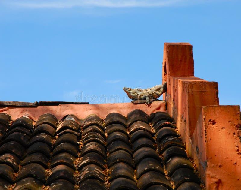 Lounging Lizard royalty free stock photos