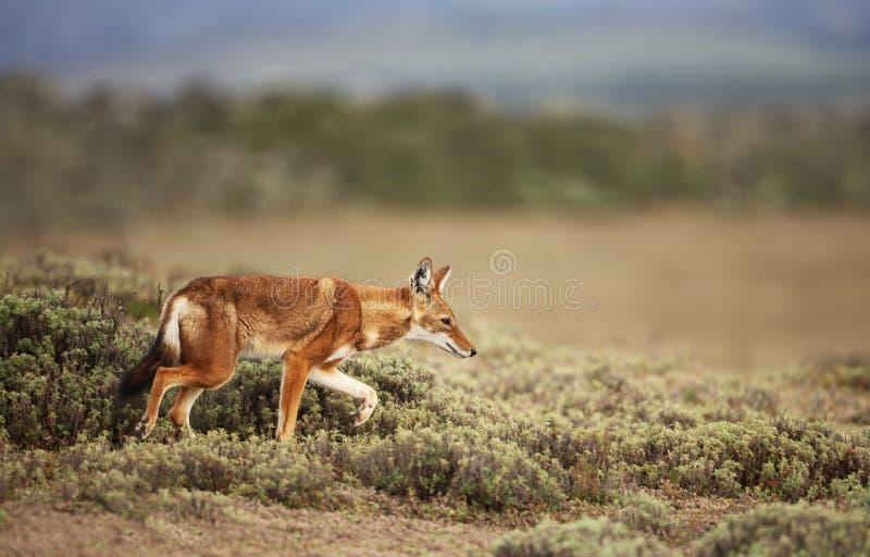 Loup éthiopien rare et mis en danger marchant en montagnes de balle, Ethiopie photographie stock libre de droits