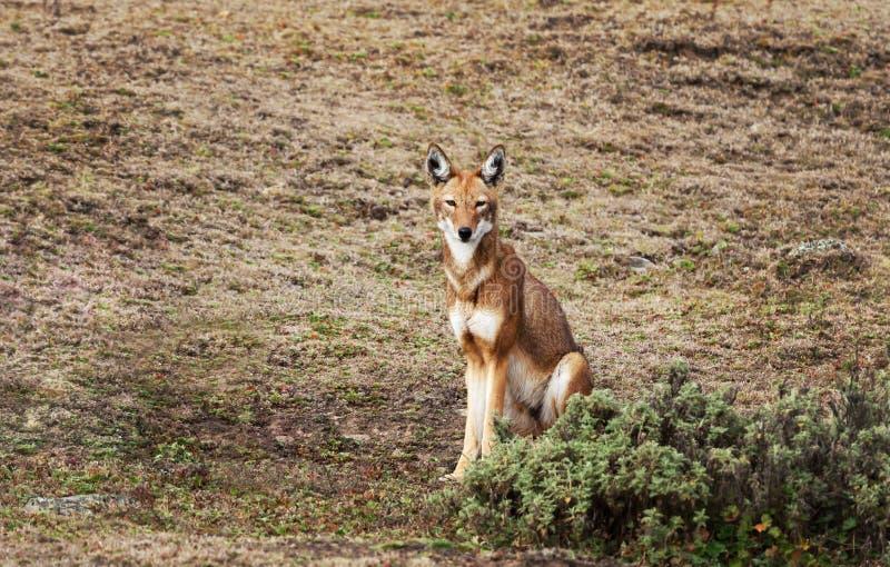 Loup éthiopien rare et mis en danger se reposant en montagnes de balle, Ethiopie photo stock