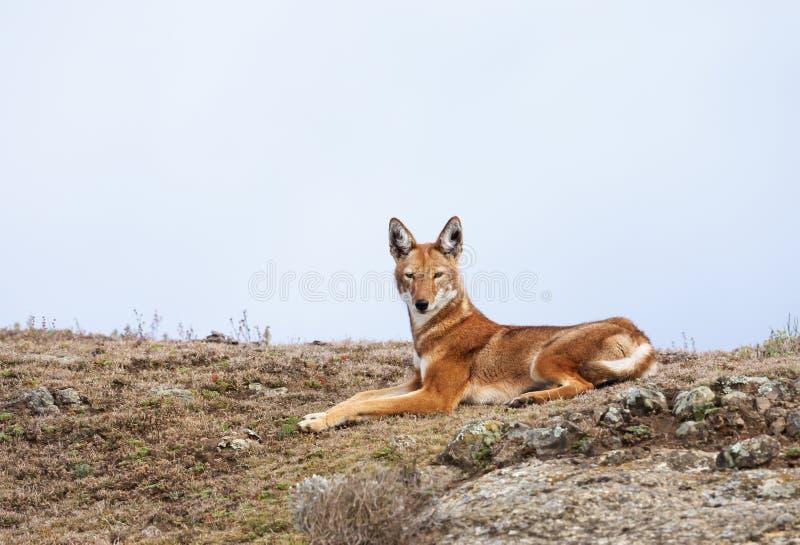 Loup éthiopien rare et mis en danger se situant en montagnes de balle, Ethiopie images libres de droits