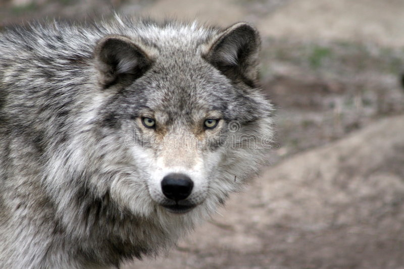 Loup 1 images stock
