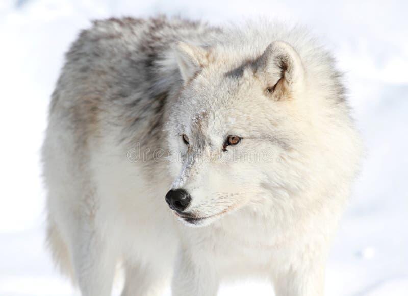 Loup arctique photographie stock libre de droits