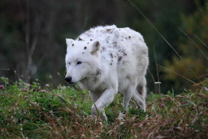 Loup arctique image stock