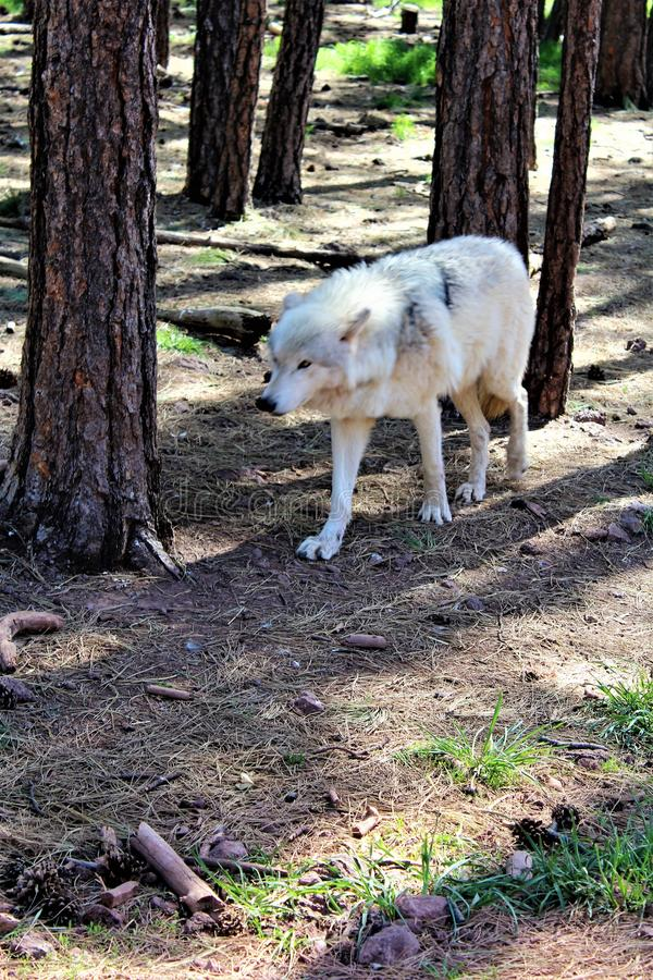 Loup arctique images libres de droits