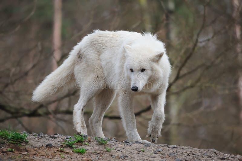 Loup arctique (arctos de lupus de Canis) images stock