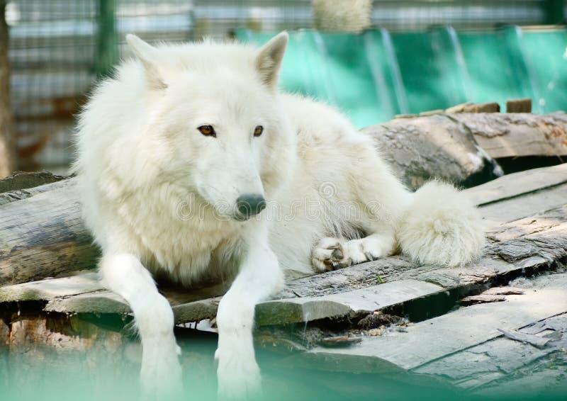 Loup arctique blanc sauvage Tundrarum de lupus de Canis animal dans un zoo image libre de droits