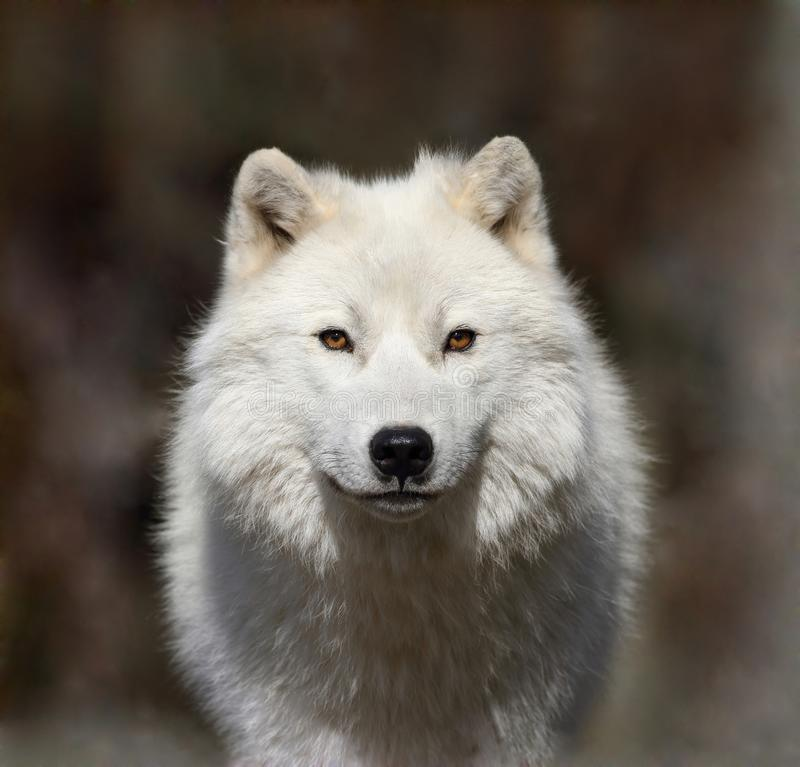 Loup arctique en brouillard images stock