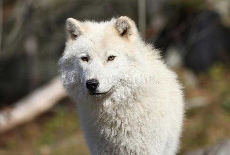Loup arctique pendant la chute image libre de droits
