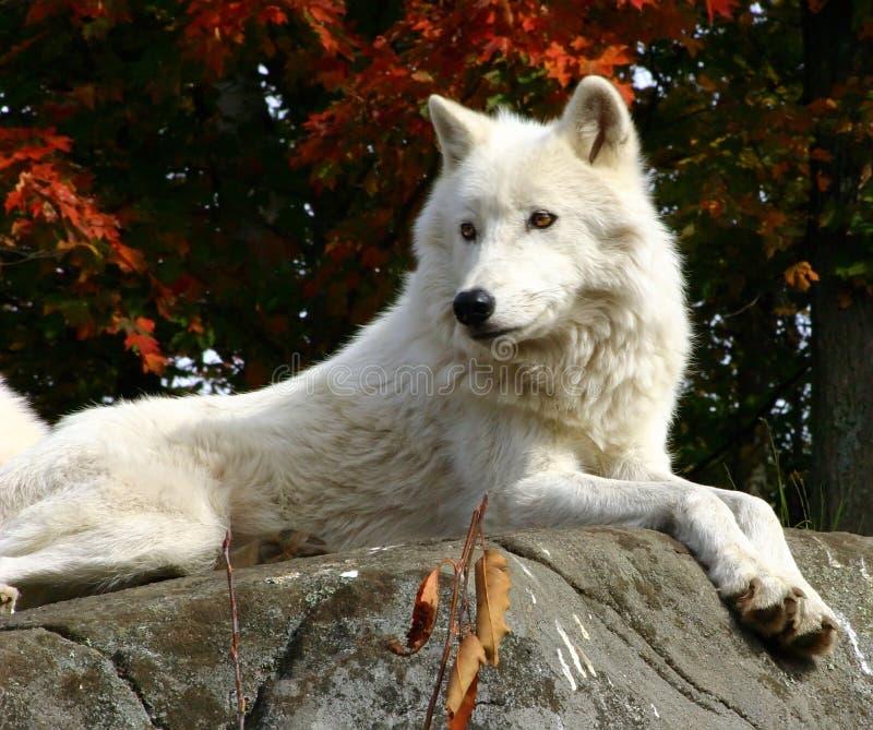 Loup arctique s'étendant sur une roche photo stock