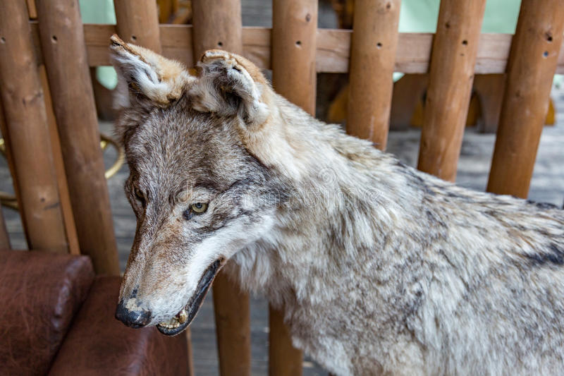 Loup avec la bouche ouverte photos libres de droits