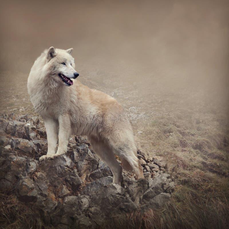 Loup blanc photos stock