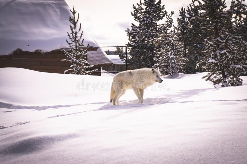 Loup blanc dans l'ours gris et le Wolf Discovery Center image libre de droits