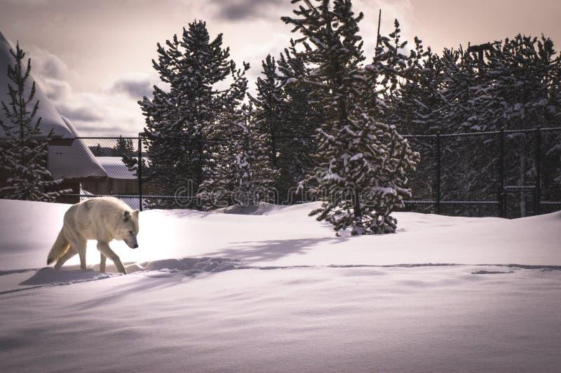 Loup blanc dans l'ours gris et le Wolf Discovery Center photographie stock libre de droits