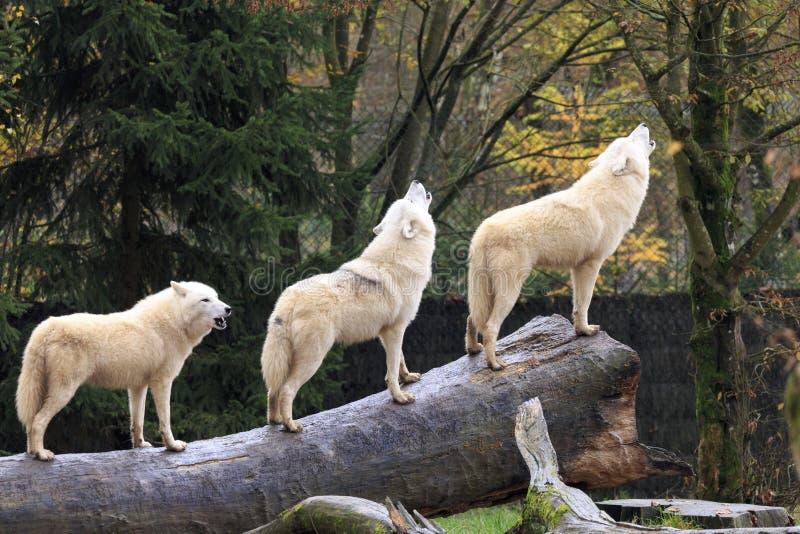 Loup blanc hurlant images libres de droits