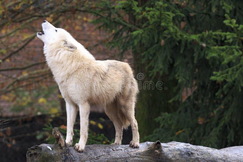Loup blanc hurlant dans la forêt images stock