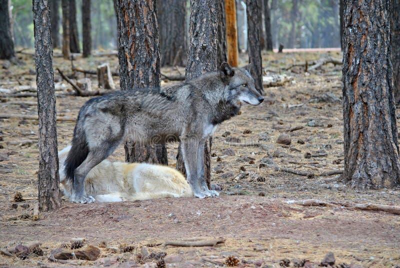 Loup d'Alaska de toundra photos stock