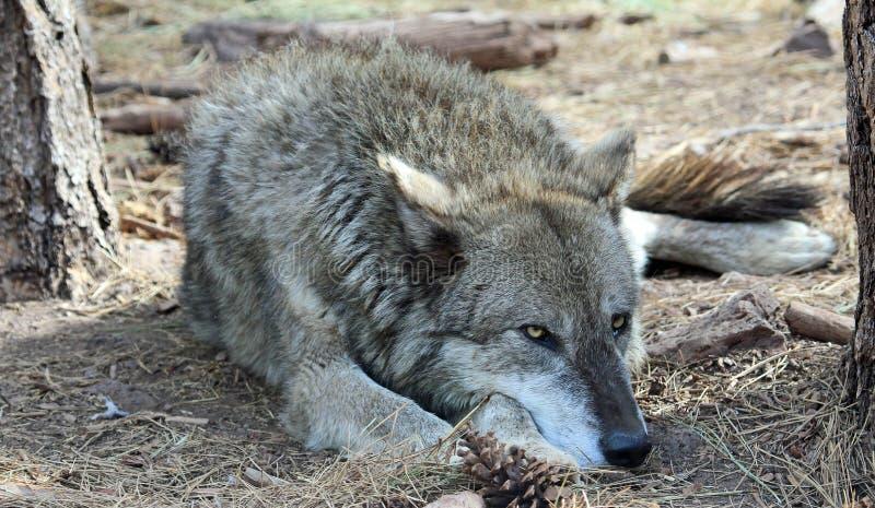 Loup d'Alaska de toundra photographie stock libre de droits