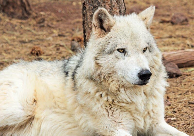 Loup d'Alaska de toundra photo stock