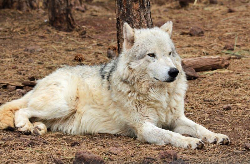 Loup d'Alaska de toundra s'étendant au sol photographie stock