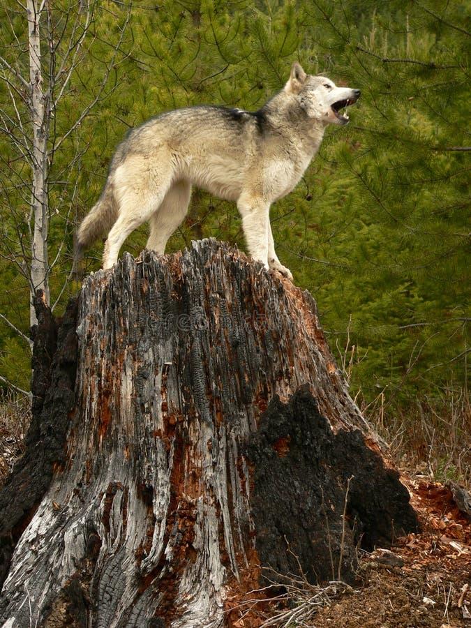 Loup d'hurlement sur le tronçon d'arbre image libre de droits
