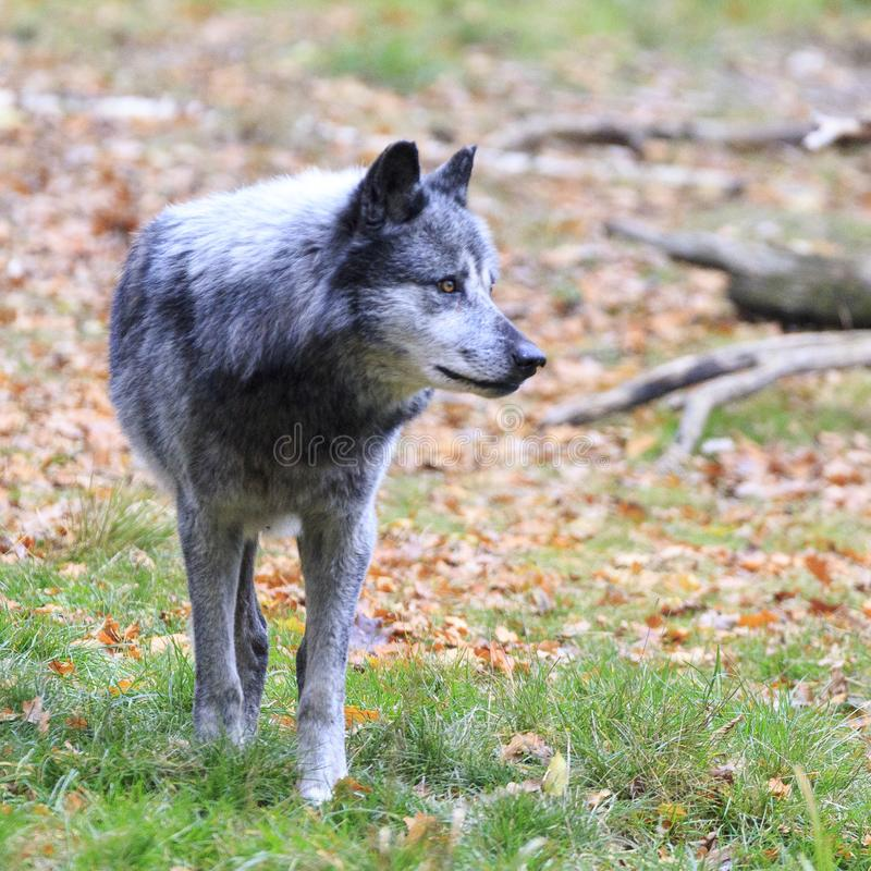 Loup dans la forêt photos stock
