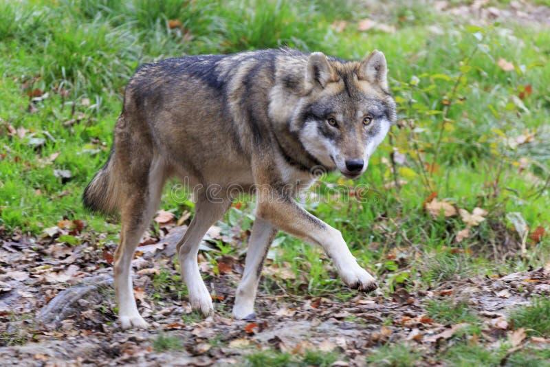 Loup dans la forêt images libres de droits