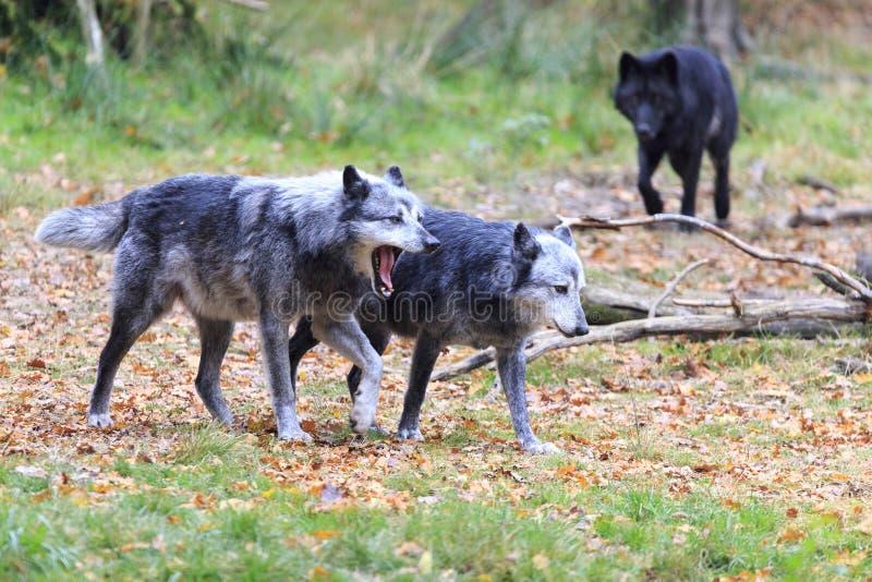 Loup dans la forêt photographie stock libre de droits