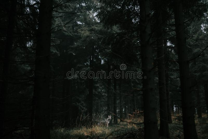 Loup dans la forêt foncée image stock