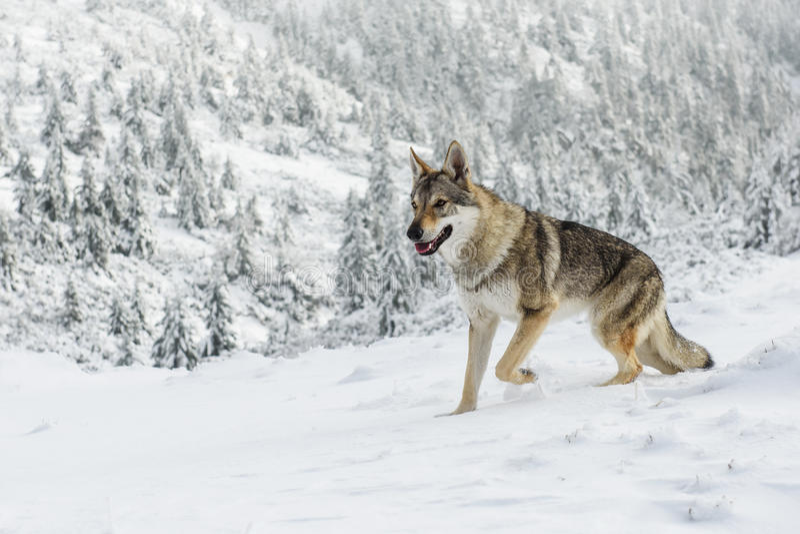 Loup dans la neige image stock