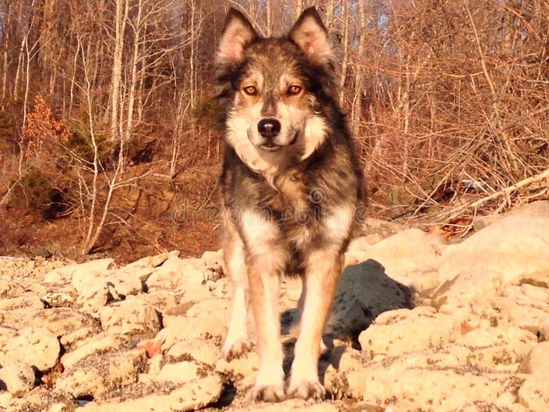 Loup dans le sauvage photographie stock