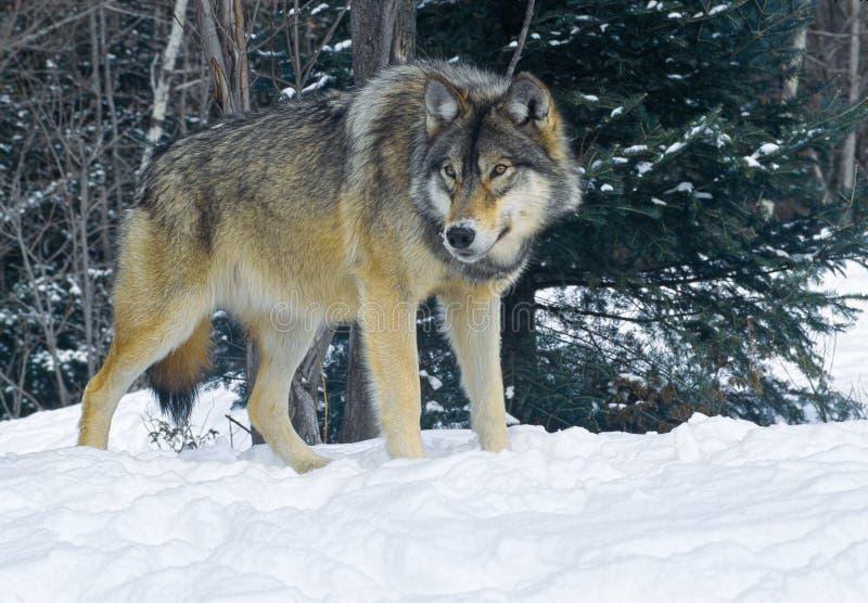 Loup de bois de construction photos libres de droits